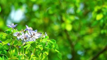 lignum vitae flores y abejas azul-blancas