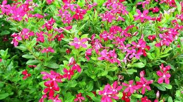 Red Madagascar Periwinkle, Rose Periwinkle and Green Grass
