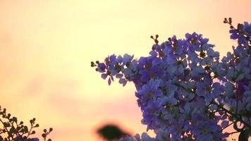 flor de lagerstroemia speciosa