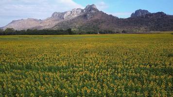 vasto campo de girassol amarelo