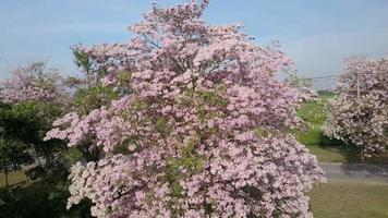 Pink trumpet tree or Tabebuia rosea blossom