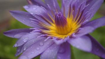 flor de lótus roxa video