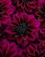 Flat lay of lush burgundy blooming dahlia flowers in colour photo