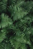 Close up of lush green natural fern leaves