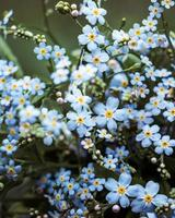 Beautiful bouquet of forget me not flowers photo
