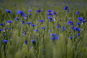 A close up of green field with blooming cornflowers photo