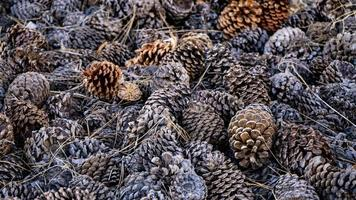 A pile of pine cones in the forest