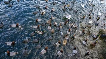 una bandada de patos en un lago