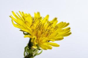 Cerca de una flor silvestre amarilla sobre un fondo blanco. foto