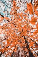 hojas de otoño naranja foto