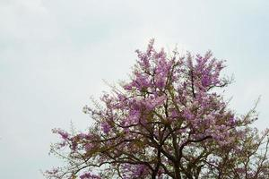 Wild Himalayan cherry tree on the mountain in Chiang Mai, Thailand photo