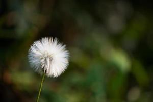 Flor de diente de león con fondo de naturaleza borrosa
