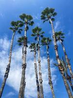 muchas palmeras altas bajo el sol de la mañana foto