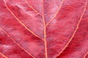 Close-up of red leaf photo