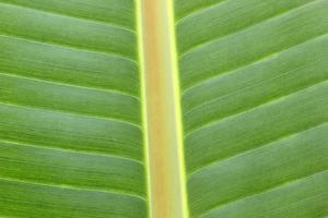 Close-up of banana leaf photo