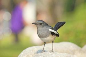 Female Oriental magpie robin standing on rock photo