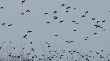 una bandada de estorninos dando vueltas en el cielo