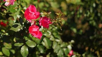 fundo natural com rosas