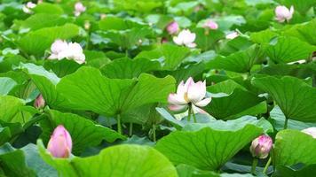 fundo natural com flores de lótus