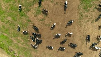 Cows on yellow summer meadow, aerial drone view