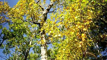 fundo natural com uma bétula com folhas amarelas