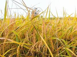 Golden rice plants in a field photo