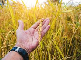 Hand holding stalk of golden rice in a field