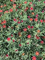 Red flowers on a succulent plant