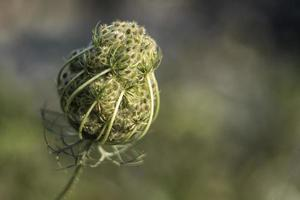 Wild carrot flower about to bloom with a blurry background