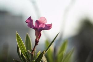 flor de adelfa en la mañana foto