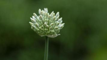 Wild onion blossoming on a blurry background photo