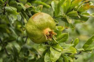 Close up of pomegranate fruit