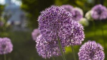 flores redondas de color púrpura en el sol foto