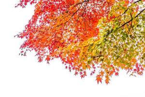 hermosos arces en otoño