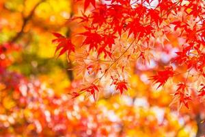 Beautiful maple trees in autumn