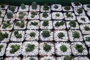Cacti in plant pots photo