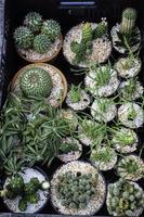 Small cactus succulents