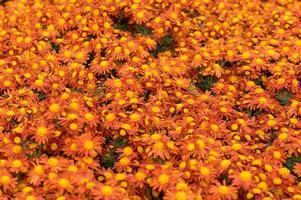 Orange chrysanthemum flowers photo