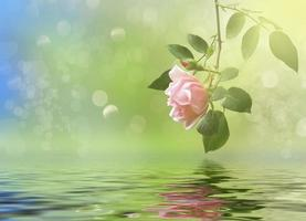 Rose on stem reflected in water with blurred background