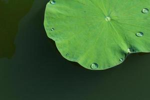 Green lotus leaf in a pond photo
