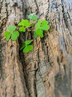 Clovers on wood trunk