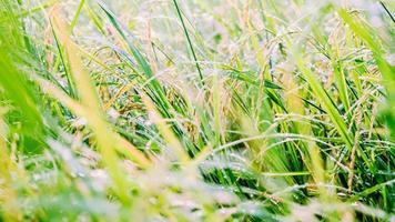 Green grassy field