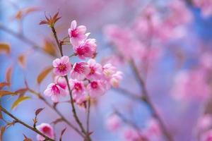 flores de cerezo rosa foto