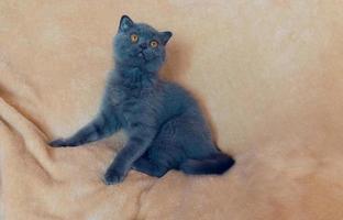 Scottish blue cat on pink blanket photo