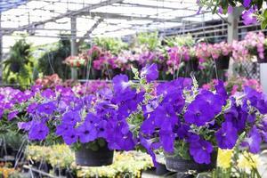 Flores colgantes de color púrpura para la venta en un vivero