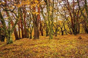 Beautiful maple trees in autumn photo
