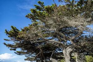 Old Cypress tree on a sunny day photo