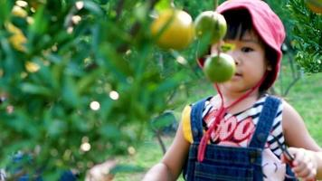 Two adorable little girls using pruning shears picking oranges video