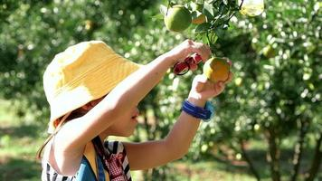 Adorable little girl using pruning shears picking fresh ripe oranges