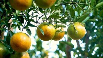 Oranges hanging on branches of orange tree before harvesting